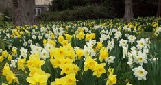 A Swath of Daffodils