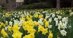 A Swath of Daffodils